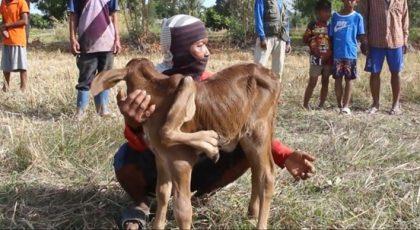 ชาวบ้านฮือฮา แม่วัวนม 5 เต้า ตกลูกเพศเมีย 5 ขา 6 เท้า เจ้าของเชื่อเป็นวัวนำโชคปีฉลู