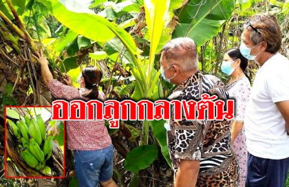 คอหวยส่อง ต้นกล้วยน้ำว้าสุดแปลก มีลูกออกกลางลำต้น นับได้ 13 ลูก